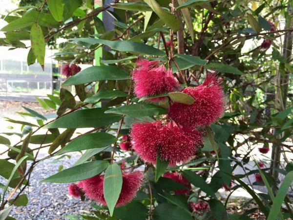 Syzygium wilsonii