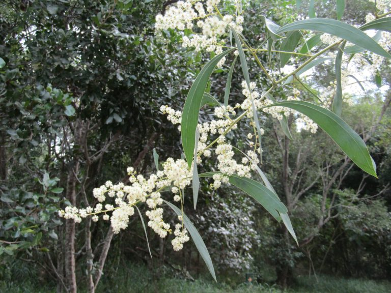 "Acacia falcata""Sickle Leaf Wattle or Burra"" - Paten Park ..."
