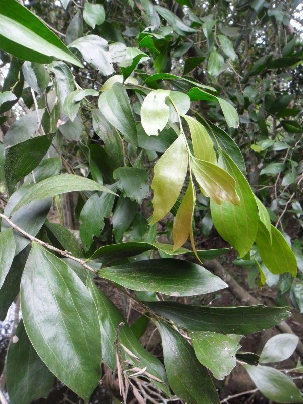 Acacia bakeri, Marblewood