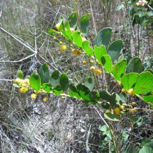Acacia complanata, Flat Stemmed Wattle