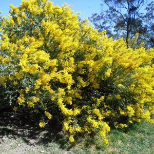 Acacia cultriformis, Knife Leaf Wattle