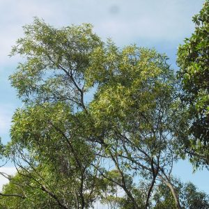 Acacia disparrima, Hickory Wattle