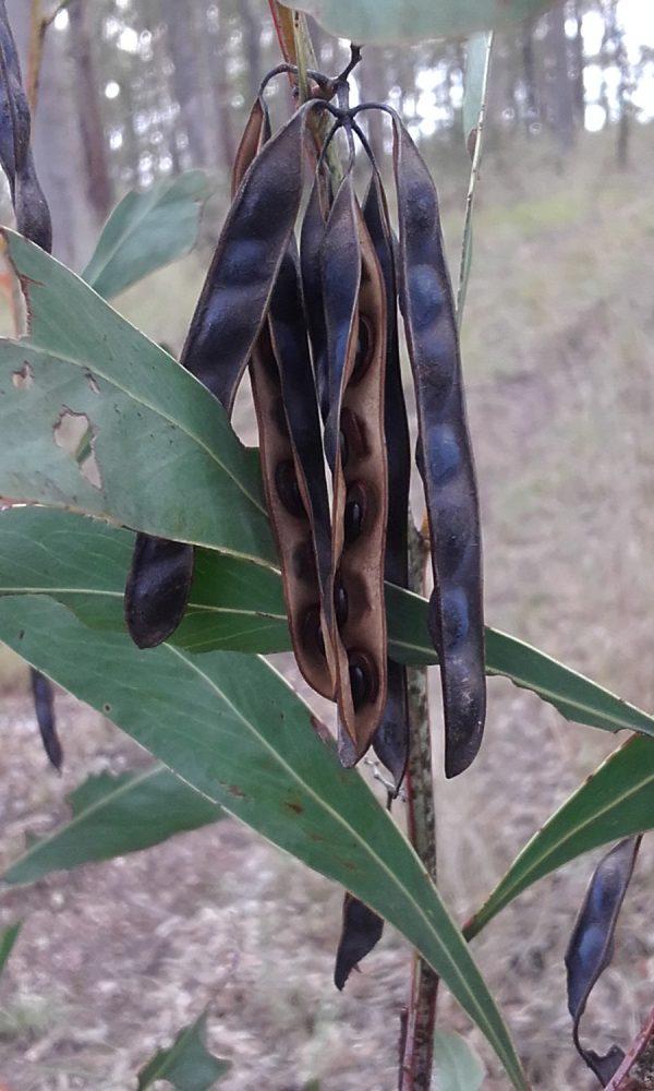 Acacia falcata, Sickle Leaf Wattle or Burra