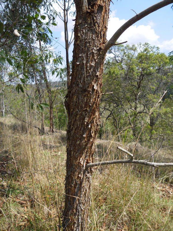 Acacia implexa, Lightwood
