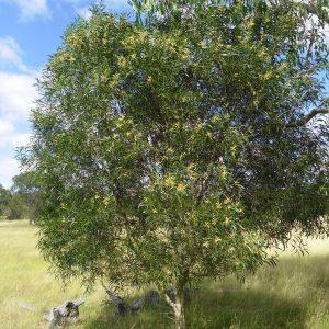 Acacia maidenii, Maiden's Wattle