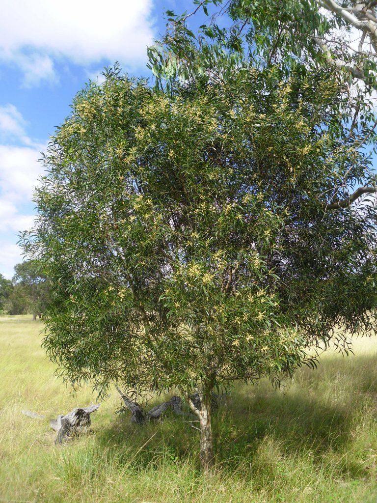 "Acacia maidenii""Maiden's Wattle"" - Paten Park Native Nursery"