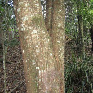 Acacia melanoxylon, Blackwood