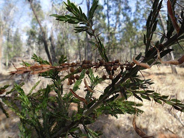 Acacia paradoxa, Kangaroo Thorn
