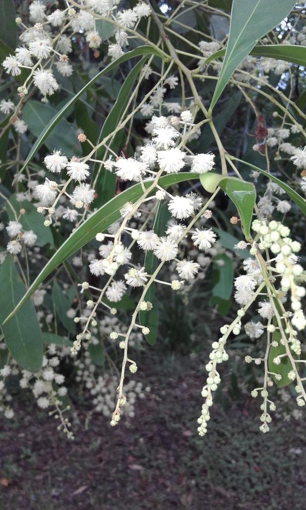 Acacia penninervis, Mountain Hickory