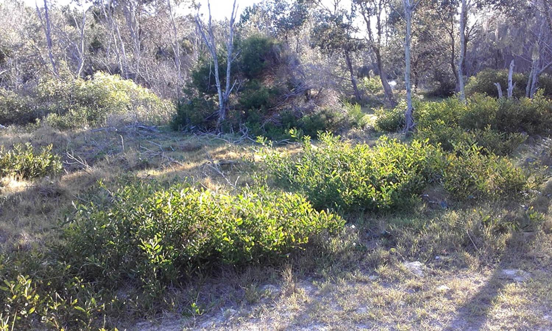 Acacia Sophoraecoastal Wattle Paten Park Native Nursery