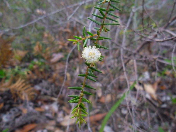 Acacia ulicifolia, Prickly Moses