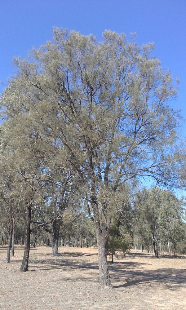 Allocasuarina luehmannii, Bull Oak