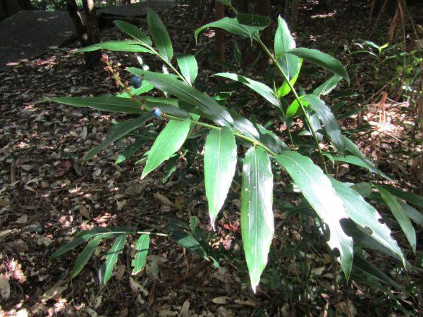 Alpinia arundelliana, Native Ginger