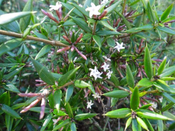 Alyxia ruscifolia, Chain Fruit