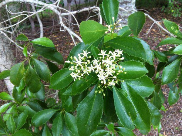 Auranticarpa rhombifolia, White Holly