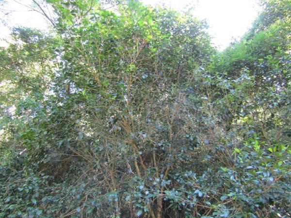 Baloghia inophylla, Brush Bloodwood