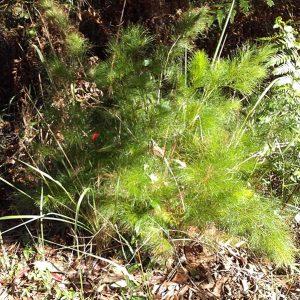 Baloskion tetraphyllum, Foxtail
