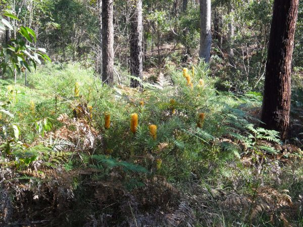 Banksia spinulosa, Golden Candlesticks