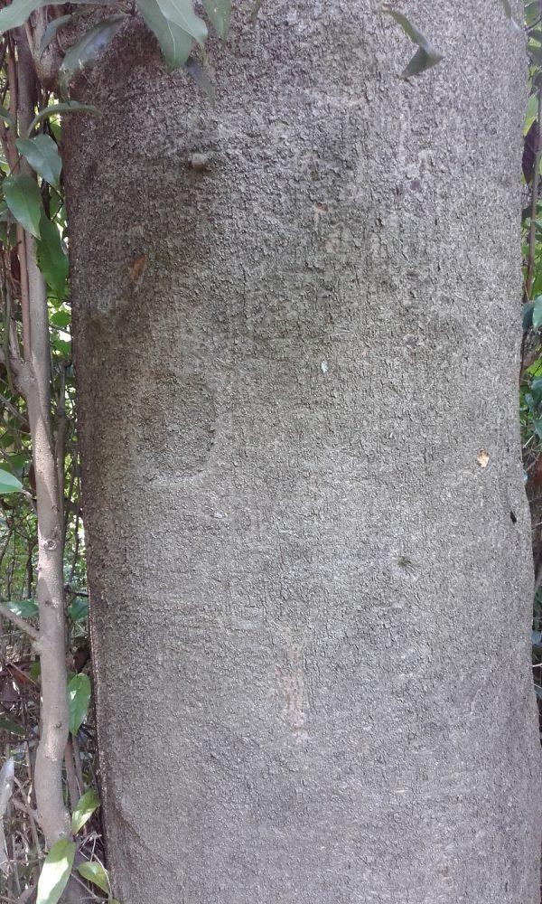 Beilschmiedia elliptica, Brown Walnut / Grey Walnut