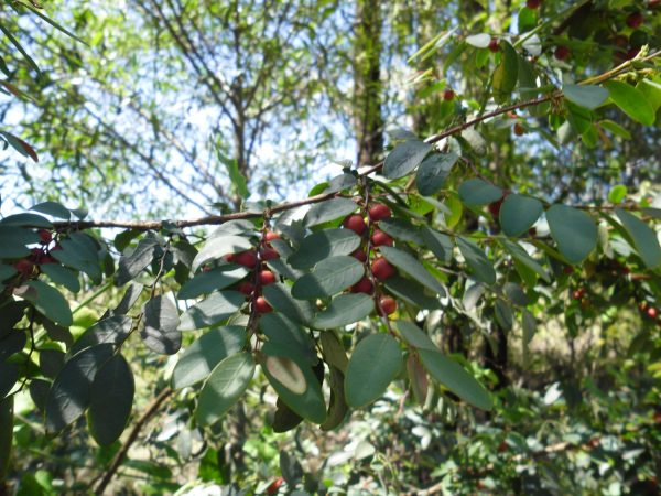 Breynia oblongifolia, Coffee Bush