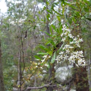 Bursaria spinosa, Blackthorn