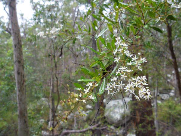Bursaria spinosa, Blackthorn