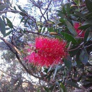 Callistemon polandii, Red Bottlebrush