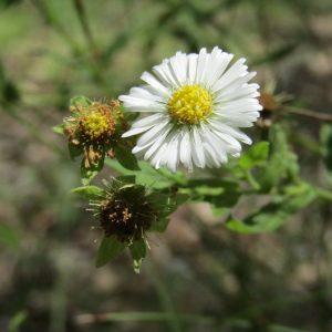 Calotis dentex, White Daisy Burr