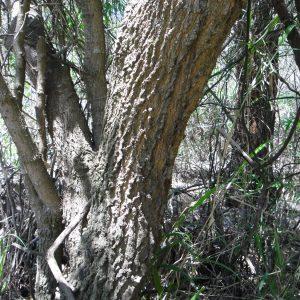 Capparis mitchellii, Native Orange/Bumble Tree