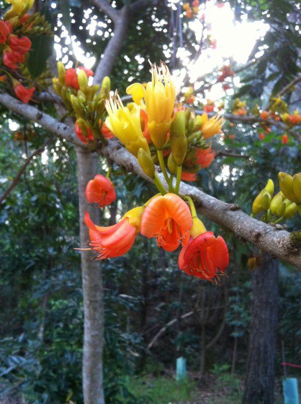 Castanospermum australe, Black Bean