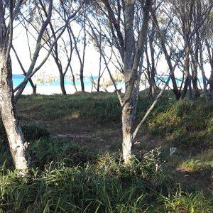 Casuarina equisetifolia, Coastal She-Oak
