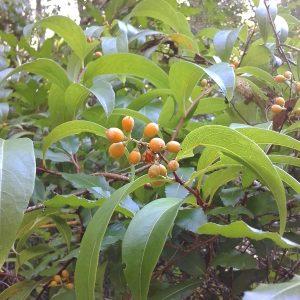 Celastrus subspicatus, White Vine