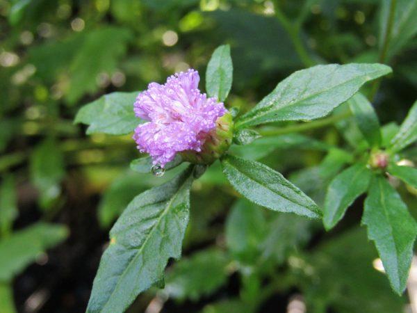 Centratherum riparium, Blue Bonnet