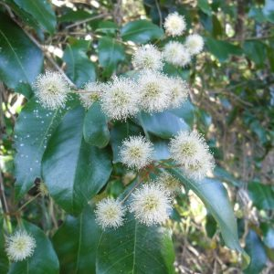 Backhousia leptopetala, Brown Myrtle