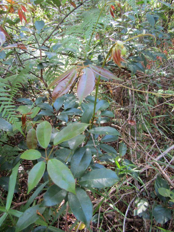 Cissus hypoglauca, Five-Leaved Water Vine