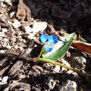 Commelina diffusa, Native Wandering Jew