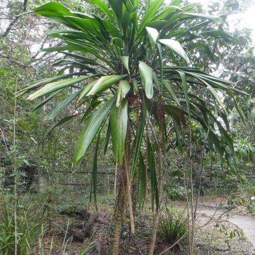 Cordyline petiolaris, Broad Leaved Palm Lily