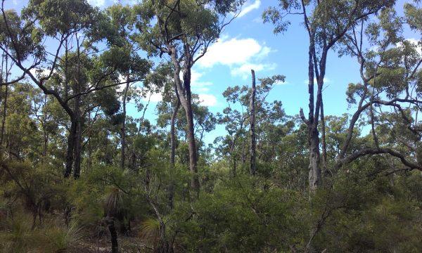 Corymbia gummifera, Red Bloodwood