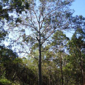 Corymbia henryi, Large Leaf Spotted Gum
