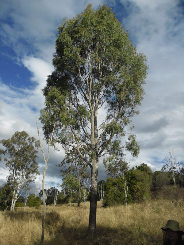 Corymbia tessellaris, Moreton Bay Ash