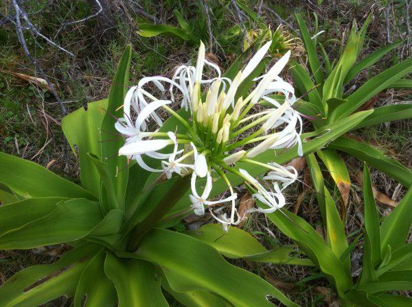Crinum pedunculatum, River Lily/Swamp Lily