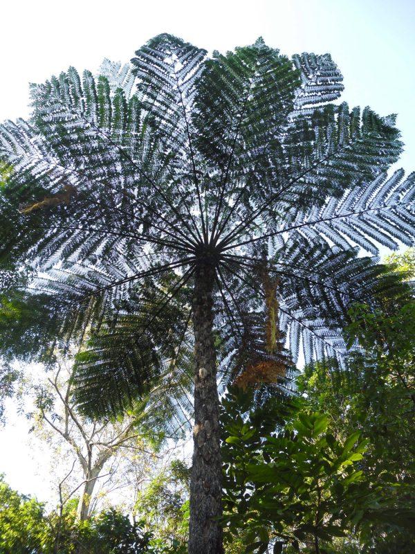 Cyathea cooperi, Scaly Tree Fern
