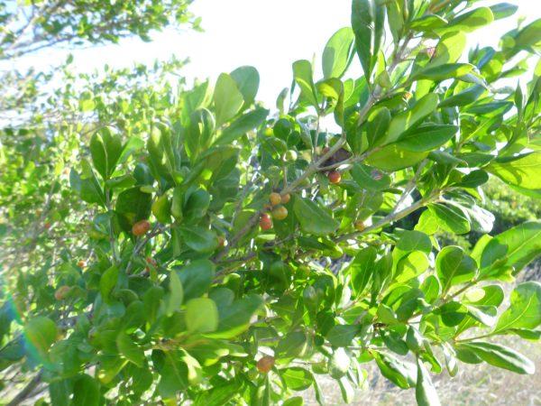 Cyclophyllum coprosmoides, Supple Jack