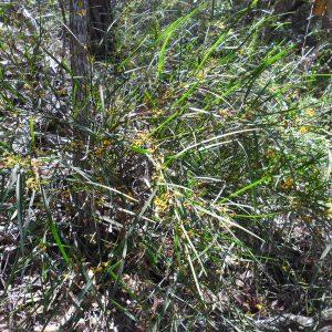 Daviesia wyattiana, Long Leaf Bitter Pea