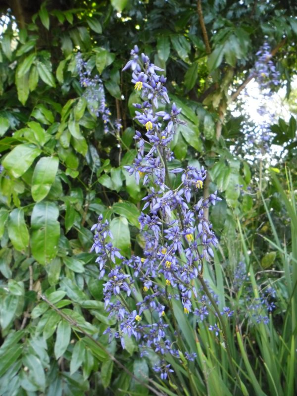 Dianella caerulea, Blue Flax Lily