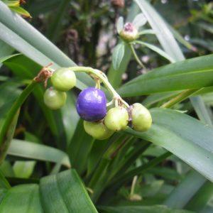 Dianella congesta, Blue Flax Lily