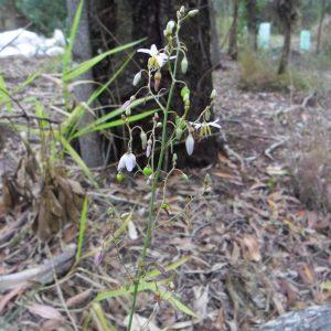 Dianella longifolia, Smooth Flax Lily