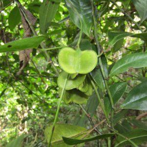 Dioscorea transversa, Common Yam Vine