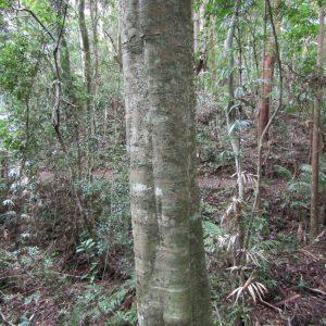 Diploglottis australis, Native Tamarind