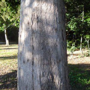 Dissiliaria baloghioides, Lancewood/Currumgui or Hauer